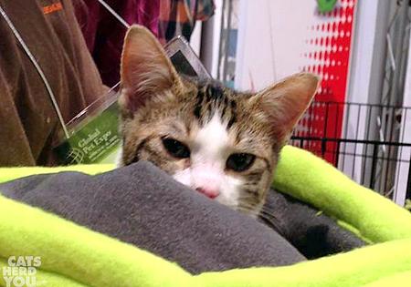 Global pet expo 2015 kitten adoption